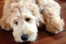 Labra/golden doodle / Big balls of cuteness