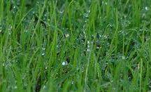 Lawn Seed