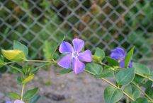 Kwiaty / Rośliny ozdobne z mojego ogrodu