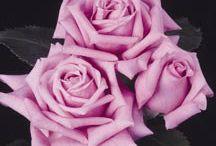 Rose bushes / by Cheryl Yacovoni