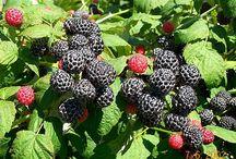 Gyümölcs - Fruits