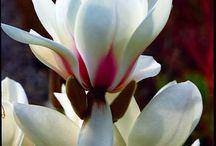 Magnolia Queen