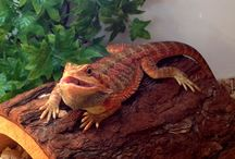 Bearded Dragons / Some of our favourite bearded dragon links.  Get more bearded dragon information here; http://www.reptilecentre.com/files_bearded-dragons
