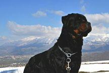 Rottweiler Beau Ideal Quattro og venner. / Hund /dog Rottweiler