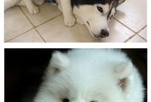 Cute Dog :: Siberian Huskey