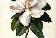 Botanical/Scientic Illustration