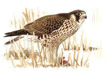 Fugler / Fugler og observasjon av fugler