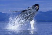 Baleine à bosse / Tous les ans les baleines à bosse sont de passages à Sainte Marie et Ifaty du mois de juillet au mois de septembre