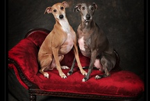 Italian Greyhounds / by Danice Gentle