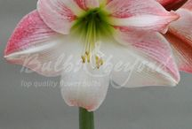 Spring Flowering Bulbs - Amaryllis / Amaryllis is ideal as an indoor pot plant. Our chosen larger bulb size ensures several flowers per bulb. Plant a bulb in October, and you will have flowers in your home at Christmas.