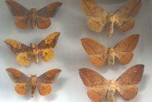 [TERMINE] Collection : papillons / Des papillons nocturnes Lépidoptères hétérocères du Globe de la famille des SATURNIDAE en vente aux enchères en ligne sur Monpriseur.fr