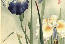 Iris / dwarf, tall bearded, siberian, photos and artwork