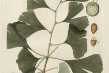 Ginkoaceae