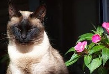 Gatos Siameses / by Na Biroskinha