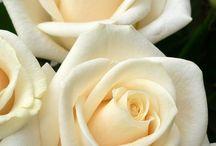 Róże (biel & ecru)