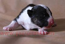 Satılık Yavru Bullterrier / Satılık Safkan Bull Terrier Yavruları fiyatları ve ilanları http://bull-terrier.yavruilani.com/  Safkan Yavru Bullterrier