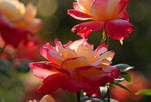 τριανταφυλλα
