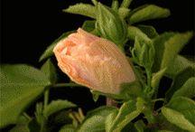 hibrdicus gif