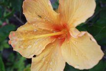 Flower Lírios ( My Photographs )