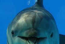 állatok delfin