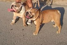 My Bulldog Ingles Xena / Homer and Duke