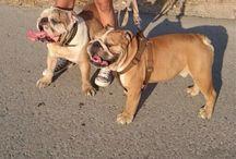 My Bulldog Ingles Xena / Homer and Duke