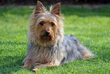 Australian Silky Terrier / Australian Silky Terrier dog breed pictures