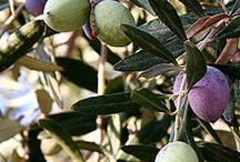 History and Uses of the Olive Tree and Oil / by Faten Abdallah | Connecting Women Media