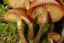 Conoscere i Funghi - Velenosi / Piccola guida per riconoscere i funghi velenosi
