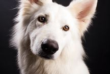 white shepherd swiss