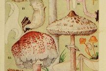 Stare ryciny grzyby