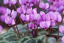 Lovely cyclamen