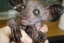 ΑΥΕ  ΑΥΕ / Το άι-άι (Daubentonia madagascariensis) είναι ένας λεμούριος , ένα strepsirrhine πρωτεύον εγγενές στην Μαδαγασκάρη , που συνδυάζει τρωκτικό, μοιάζει στα δόντια και έχει ένα ειδικό λεπτό μεσαίο δάχτυλο.  Είναι νυκτόβιο πρωτεύον μεγαλύτερη στον κόσμο, και χαρακτηρίζεται από ασυνήθιστες μεθόδους για την εξεύρεση  τροφής. Ανεβαίνει στα δέντρα για να βρει κάμπιες και ανοίγει μικρές τρύπες στο ξύλο με τους εμπρός του λοξούς κοπτήρες, εισάγει το στενό μεσαίο δάχτυλο του να τραβήξει τις προνύμφες έξω.