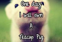 teacup pigs are the best