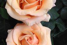 Nature - Roses