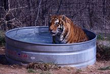 Tiger Pool Time / Our big cats enjoying the water in this hot weather!