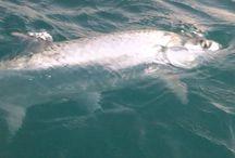 Tarpon Fishing Videos / by MulletRun Fishing