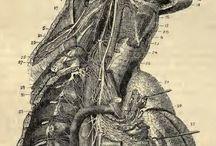 anatomy . anatomical drawing . medical illustration . human & animal