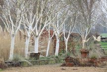 White and green / Garden ideas with birch (Betula)