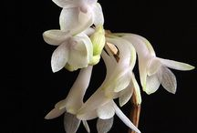 Indonesia orchid species