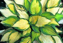 Plants for my garden - Hostas