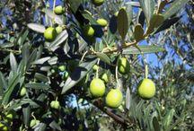 Оливковое масло из «Массерия Дон Винценцо » / .