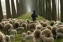 Counting Sheep / I love sheep.