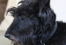 Scooby, Angus and other scotties / Scottish terriers