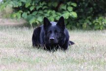 german shepherd / dogs and more dogs - my dog - my baby