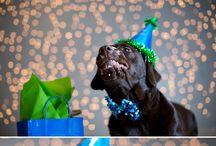 Dogs - Labradors / Dogs*labrador
