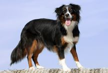 Bandit the Amazing Mini Aussie and His Friends / by Jennifer Neuman