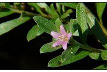 tanaman herbal