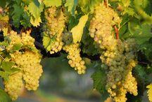 L'uva Vernaccia di San Gimignano