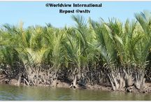 NYPA MANGROVE PALM FOR LIVELIHOOD SUPPORT